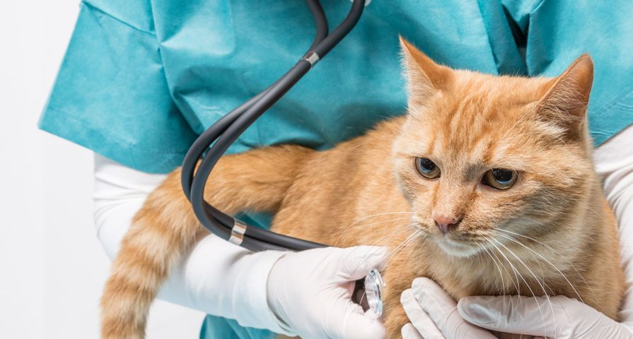 Cat Being Examined at Vet
